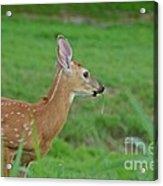 Deer 13 Acrylic Print