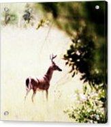 Deer 2 - Buck - White-tailed Acrylic Print