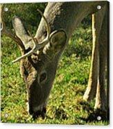 Deer 2009 Acrylic Print
