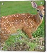 Deer 24 Acrylic Print