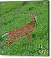 Deer 6 Acrylic Print