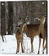 Deer Affection Acrylic Print