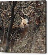 Deer Ahead Acrylic Print
