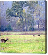 Deer At Cades Cove Acrylic Print