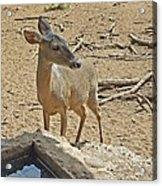 Deer At Waterhole Acrylic Print