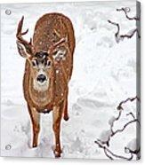 Deer Buck In Snow Acrylic Print