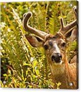 Deer Buck In Velvet Acrylic Print