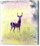 Deer - Buck - White-tailed Acrylic Print