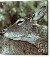 Deer Close-up Acrylic Print