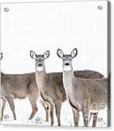 Deer Deer Deer Acrylic Print