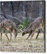 Deer Discussion E167 Acrylic Print