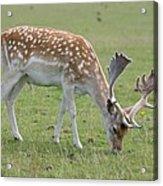Deer Eating Acrylic Print