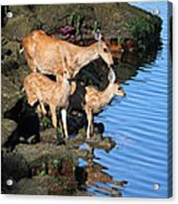 Deer Family By The Ocean At Low Tide Acrylic Print