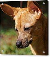 Deer-head Chihuahua Acrylic Print