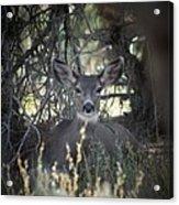 Deer II Acrylic Print