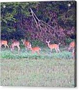 Deer-img-0128-005 Acrylic Print