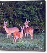 Deer-img-0150-001 Acrylic Print