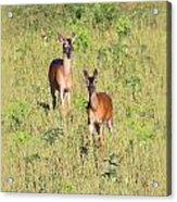 Deer-img-0283-001 Acrylic Print