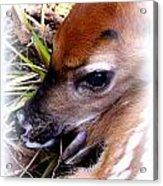 Deer-img-0349-002 Acrylic Print