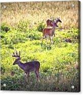 Deer-img-0437-001 Acrylic Print