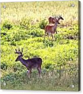 Deer - 0437-004 Acrylic Print