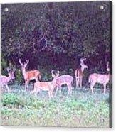 Deer-img-0470-002 Acrylic Print