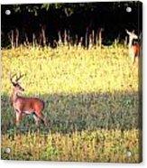 Deer-img-0627-001 Acrylic Print