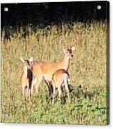 Deer-img-0642-001 Acrylic Print
