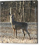 Deer In Field Acrylic Print