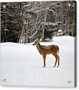 Deer In Road Acrylic Print