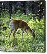 Deer In Sunlight Glen Acrylic Print