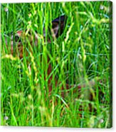 Deer In Tall Grass Acrylic Print