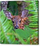 Fawn In The Ferns Acrylic Print
