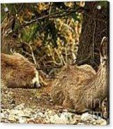 Deer In The Rockies Acrylic Print