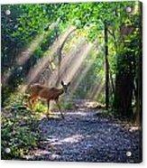 Deer In The Sun Acrylic Print