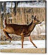 Deer Jump Acrylic Print