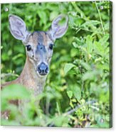 Deer Me Acrylic Print by Joe McCormack Jr