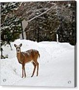 Deer On Side Of Road Acrylic Print