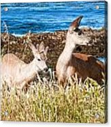 Deer On The Beach At Point Lobos Ca Acrylic Print by Artist and Photographer Laura Wrede
