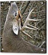 Deer Pictures 444 Acrylic Print