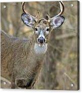 Deer Pictures 445 Acrylic Print