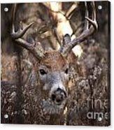 Deer Pictures 449 Acrylic Print