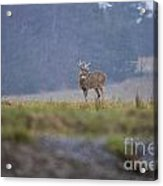Deer Pictures 527 Acrylic Print