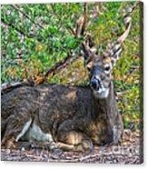 Deer Relaxing Acrylic Print