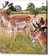 Deer Standing Up Acrylic Print