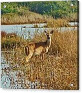 Deer The Point Hatteras Nc 2 12/5 Acrylic Print