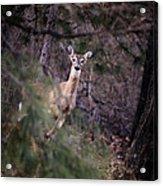 Deer's Stomping Grounds. Acrylic Print