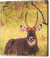 Defassa Waterbuck Kobus Ellipsiprymnus Acrylic Print
