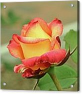 Delaney Sisters Grandiflora Rose 2 Acrylic Print