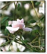 Delicate As A Rose Acrylic Print